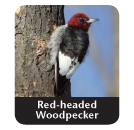 red-header wookpecker
