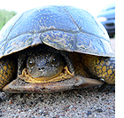 photo of blanding's turtle with car in background