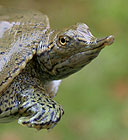 photo of spiny softshell turtle